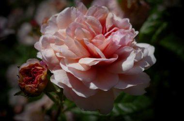Rose Neu